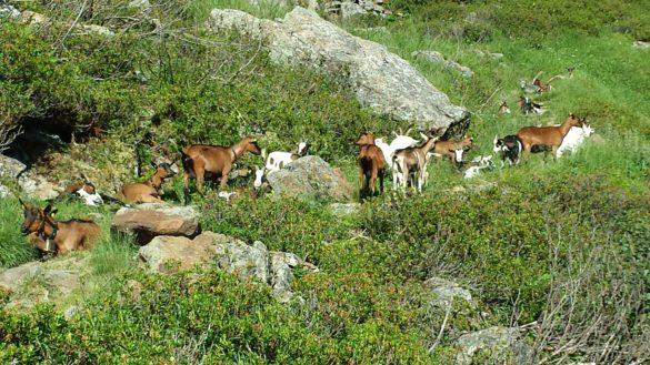 Cesta plná koz