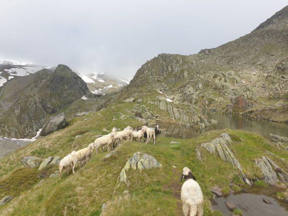 Ovce u Egesen See